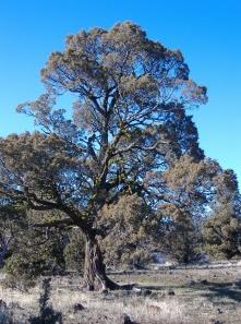 Grand old juniper tree