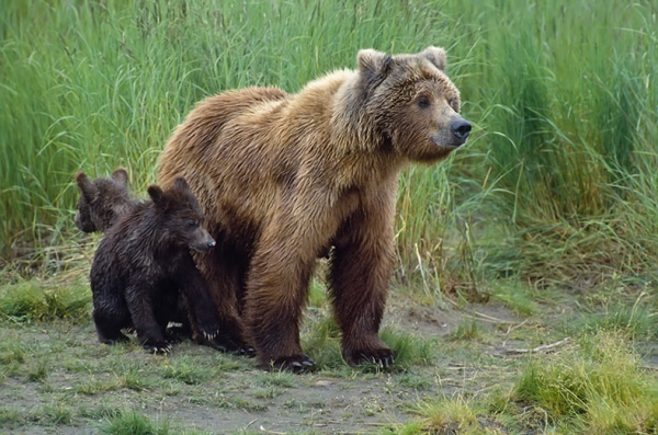 BC's trophy grizzly hunt ends